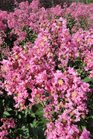 /Images/johnsonnursery/product-images/Lagerstroemia Hopi090413_pxa3p67lm.jpg