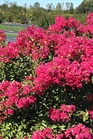 /Images/johnsonnursery/product-images/Lagerstroemia Inifinitini Watermelon_qufc0fmtx.jpg