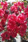 /Images/johnsonnursery/product-images/Lagerstroemia Red Rocket2090413_0nrr371fs.jpg
