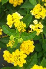 /Images/johnsonnursery/product-images/Lantana Landmark Gold050806_zsjxap2mu.jpg