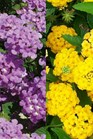/Images/johnsonnursery/product-images/Lantana new gold  luscious grape_53baq5m46.jpg