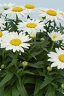 /Images/johnsonnursery/product-images/Leucanthemum Snowcap_3wgg101ui.jpg