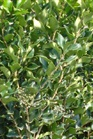 /Images/johnsonnursery/product-images/Ligustrum Recurvifolium_6fux529ol.jpg