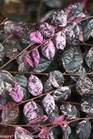 /Images/johnsonnursery/product-images/Loropetalum Jazz Hands Variegated_xazssfz3w.jpg
