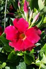 /Images/johnsonnursery/product-images/Mandevilla Bella Compact Red_cq3ex47bs.jpg