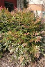 /Images/johnsonnursery/product-images/Nandina Gulfstream021013LR_9jsthq8qm.jpg