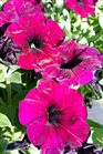 /Images/johnsonnursery/product-images/Petunia Easy Wave Burgundy Velour2041117_u48aj357f.jpg