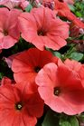 /Images/johnsonnursery/product-images/Petunia Potunia Plus Papaya2040816_m5hqn4ow2.jpg