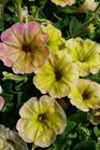 /Images/johnsonnursery/product-images/Petunia Supertunia Honey040816_w16rixig8.jpg