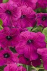 /Images/johnsonnursery/product-images/Petunia Supertunia Royal Magenta_0vjmpowiu.jpg