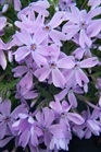 /Images/johnsonnursery/product-images/Phlox Emerald Blue2040207_vn5tvi3wt.jpg