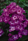 /Images/johnsonnursery/product-images/Phlox Grape Lollipop_30zgjmxad.jpg