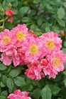 /Images/johnsonnursery/product-images/Rosa Oso Easy Double Pink_cbi1a2ve1.jpg
