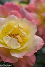 /Images/johnsonnursery/product-images/Rosa Oso Easy Italian Ice_dqsen1nnm.jpg