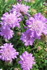 /Images/johnsonnursery/product-images/Scabiosa Butterfly Blue031902_88n5k6zzj.jpg