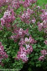 /Images/johnsonnursery/product-images/Syringa Scent and Sensibility Pink 2_h1qx475sd.jpg
