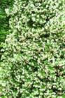 /Images/johnsonnursery/product-images/Trachelospermum_jasminoides050410_ik864o0ul.jpg