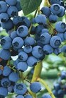 /Images/johnsonnursery/product-images/Vaccinium Blue Ray_7qgm71i0n.jpg