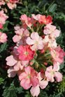 /Images/johnsonnursery/product-images/Verbena Royale Peachy Keen040113_1fxt20t4v.jpg