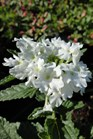 /Images/johnsonnursery/product-images/Verbena Royale Whitecap053013_k5rs7o1z1.jpg