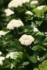 /Images/johnsonnursery/product-images/Viburnum All That Glitters 2_a0m8d2btn.jpg