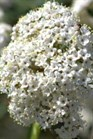 /Images/johnsonnursery/product-images/Viburnum Decker_rx1q3c5v6.jpg