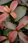 /Images/johnsonnursery/product-images/Viburnum Handsome Devil 2_a0aci3c5m.jpg