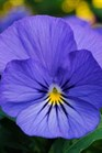 /Images/johnsonnursery/product-images/Viola Sorbet XP True Blue_ov0ihamq3.jpg