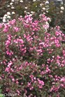 /Images/johnsonnursery/product-images/Weigela Fine Wine_a9vtglg05.jpg