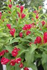 /Images/johnsonnursery/product-images/Weigelia Sonic Bloom Red2080613_wltxmzvq1.jpg