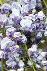/Images/johnsonnursery/product-images/Wisteria Ed's Blue_menxeod8t.jpg