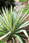 /Images/johnsonnursery/product-images/Yucca Color Guard080107_jb8s385dt.jpg