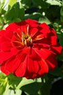 /Images/johnsonnursery/product-images/Zinnia Magellan Scarlet2082416_6taco4r8d.jpg